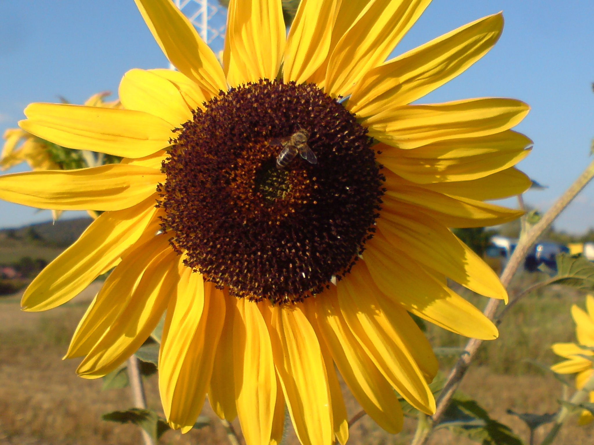 bee harvesting pollen on sunflower
